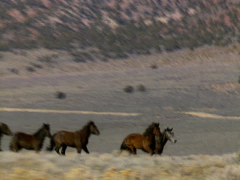 Wild Horses 40 A herd of wild horses gallop across the foothills near Reno, Nevada. mustang wild horse stock videos & royalty-free footage