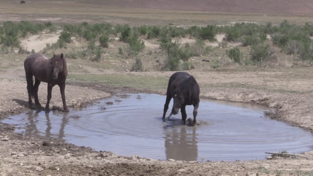 Wild Horses at a Desert Waterhole video