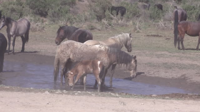Wild Horses at a Waterhole in Utah video