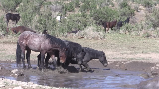 Wild Horses at a Waterhole video