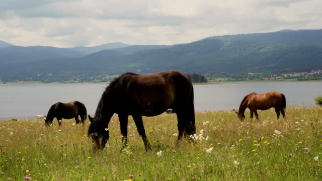 Wild horses graze and eat grass in the meadow on lake in Bulgaria Wild horses graze and eat grass in the meadow on lake in Bulgaria pasture stock videos & royalty-free footage