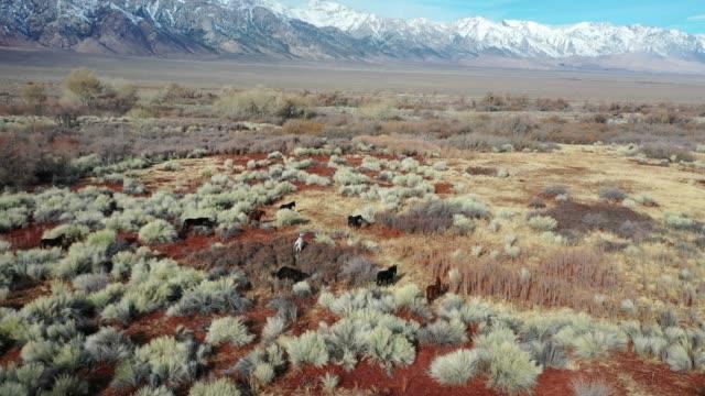 Wild Horses grazing. Mustang. Alabama Hills. Sierra Nevada California. Aerial Flight 4K