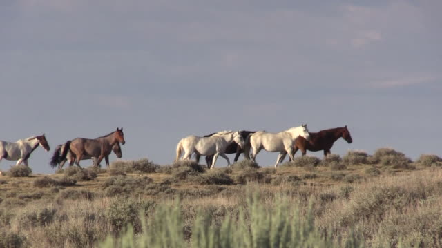 Wild Horses in the High Desert a herd of wild horses in the Sand Wash Basin Colorado mustang wild horse stock videos & royalty-free footage