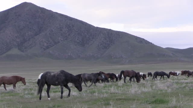 wild horses in the utah desert - mustang video stock e b–roll