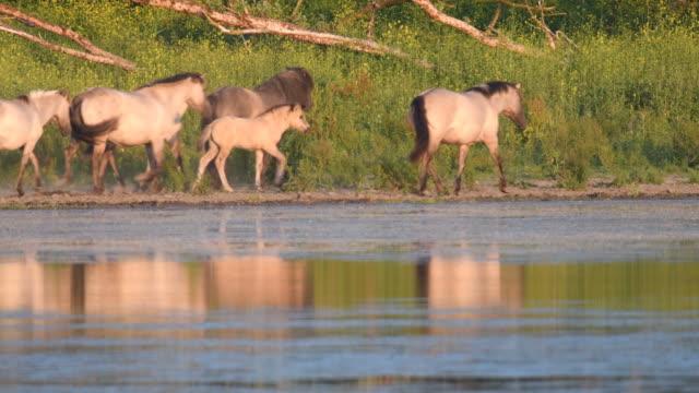 wilde pferde an einem see in einem naturschutzgebiet - polnische kultur stock-videos und b-roll-filmmaterial