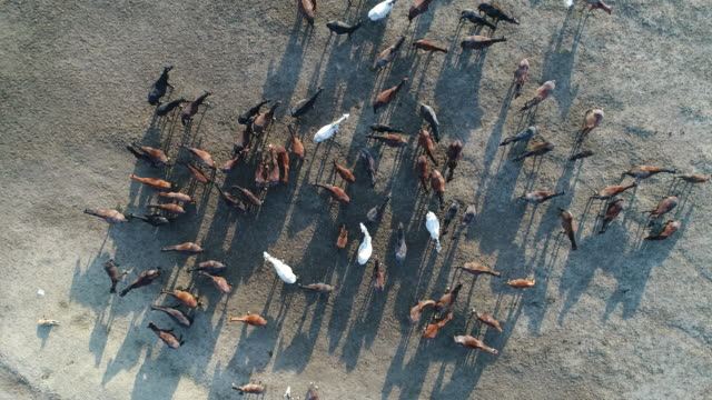Wild Horses of Anatolia aerial view Wild Horses of Anatolia aerial view mustang wild horse stock videos & royalty-free footage