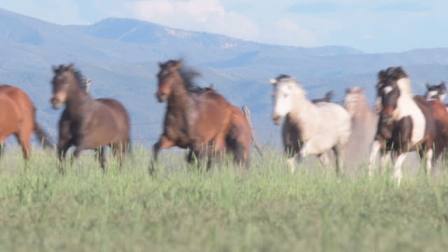 wild horses running in a herd sequence - мустанг стоковые видео и кадры b-roll