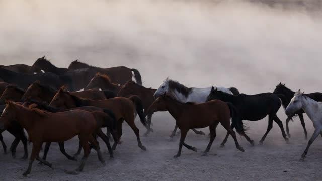wild horses running - stallone video stock e b–roll