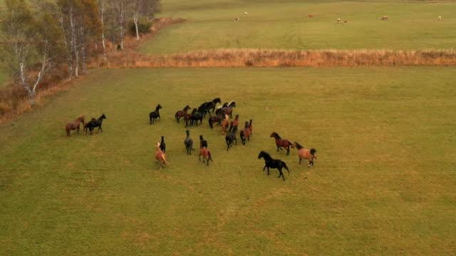 vídeos de stock, filmes e b-roll de corredor dos cavalos selvagens - mustang