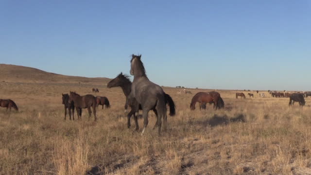 wild horses sparring - stallone video stock e b–roll