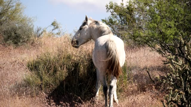 Wild Horses A Mustang grazes near the Salt River in Central Arizona mustang wild horse stock videos & royalty-free footage