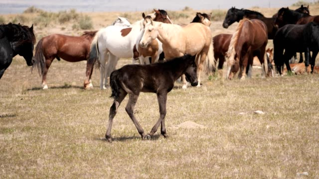 Wild Horses Mustang's survive on the arid plains of western Utah mustang wild horse stock videos & royalty-free footage