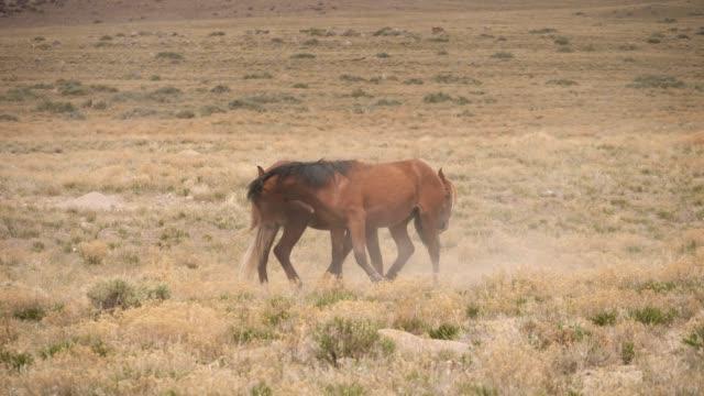 vídeos de stock, filmes e b-roll de cavalos selvagens - mustang