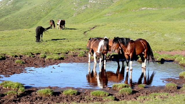 dzikie konie (hd - staw woda stojąca filmów i materiałów b-roll