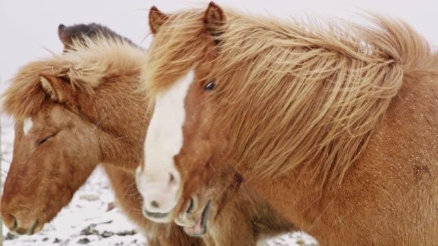 ms wild icelandic horses in snowy field,iceland - grzywa filmów i materiałów b-roll