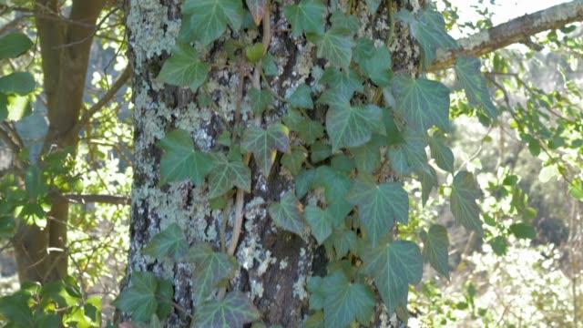 vídeos de stock e filmes b-roll de wild ivy on tree - hera trepadeira