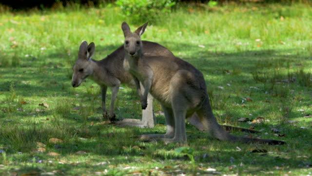 Wild kangaroos eating grass video