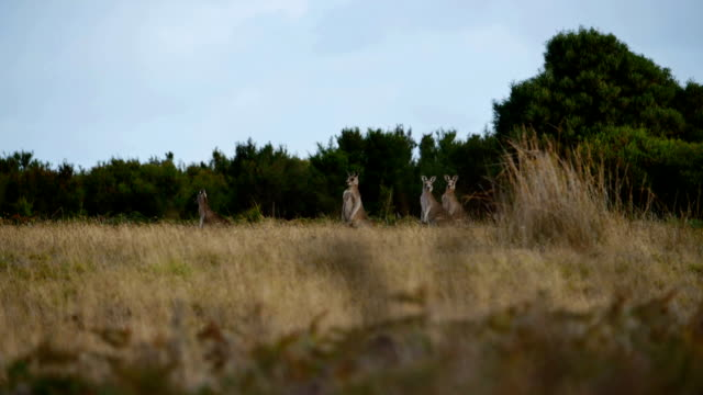 Wild kangaroos video
