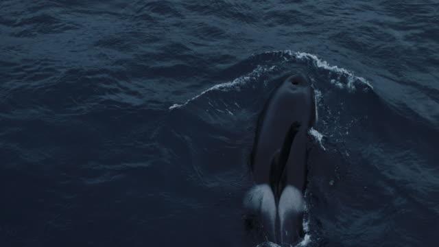 orche selvatiche nel mare di norvegia - mammifero video stock e b–roll