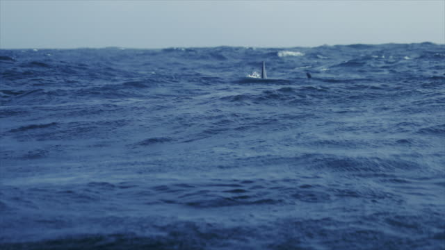 Wild killer whales in the Norwegian Sea video