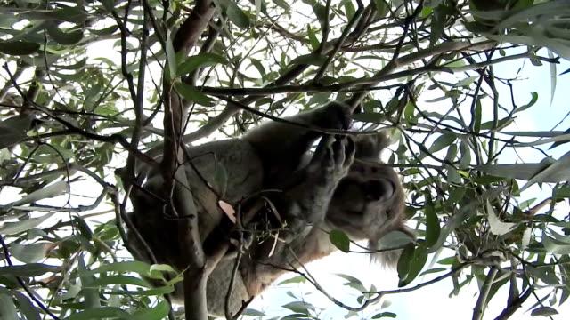 Wild koala scratching in a tree video