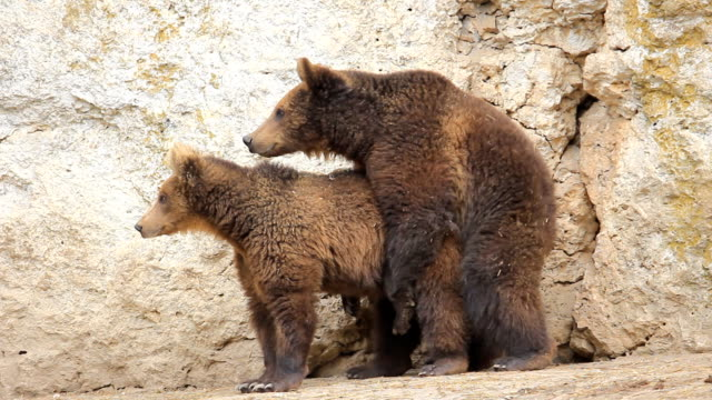 wild life mating brown bears - bear stock videos and b-roll footage
