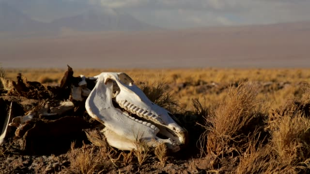 Wild life skeleton Close-up Animal carcass lies in the desert. Desert animals are exposed to scorching hot temperatures for long periods of time. animal skeleton stock videos & royalty-free footage