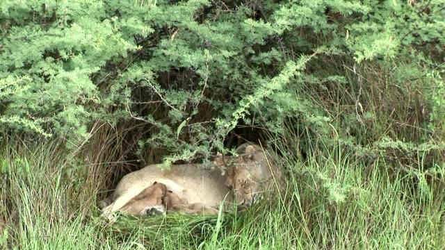 Wild Little Lion eating mothers milk mammal africa savannah Kenya video
