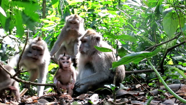 Wild Macaque Monkey (Macaca fascicularis) Family Grooming video