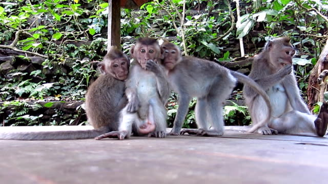 Wild Macaque Monkey (Macaca fascicularis) Family Surprise video