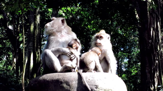 Wild Macaque Monkey (Macaca fascicularis) Family with Infants video