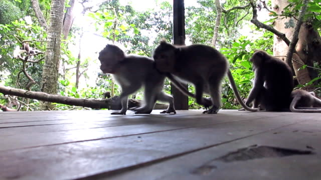 Wild Macaque Monkeys (Macaca fascicularis) Playing video