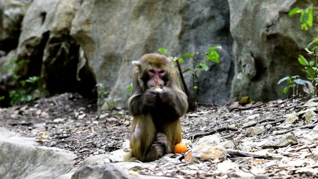 wild makak av dagligt liv-apan äter mat - primat bildbanksvideor och videomaterial från bakom kulisserna
