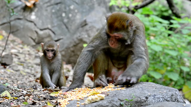 günlük hayat-eatting gıda maymun kral vahşi makak - makak maymunu stok videoları ve detay görüntü çekimi