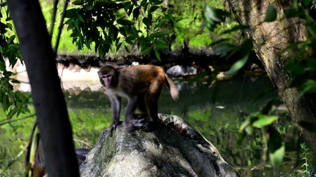 vilda makaker i det dagliga livet-apa gick runt dammen - primat bildbanksvideor och videomaterial från bakom kulisserna