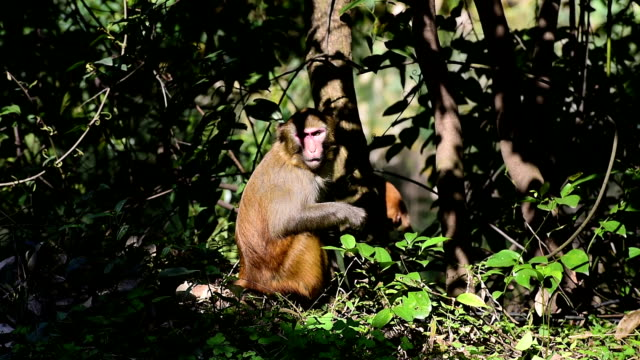 wild macaques of daily life-monkey walked around the pond - reso video stock e b–roll
