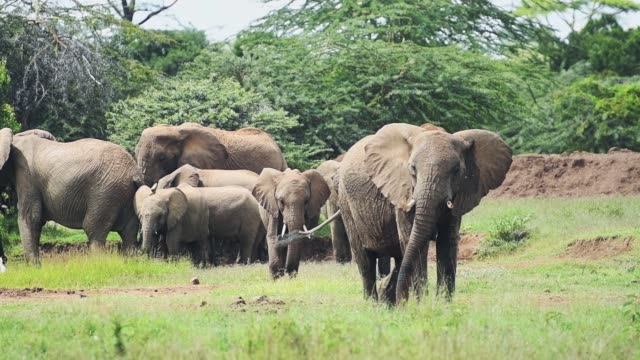 Wild male elephant protecting females and babies, in a grassland near the bush, Kenya, Africa
