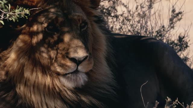 wilden männlichen löwen in afrika - bedrohte tierart stock-videos und b-roll-filmmaterial