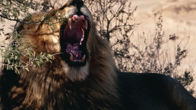Wild Male Lion in Africa