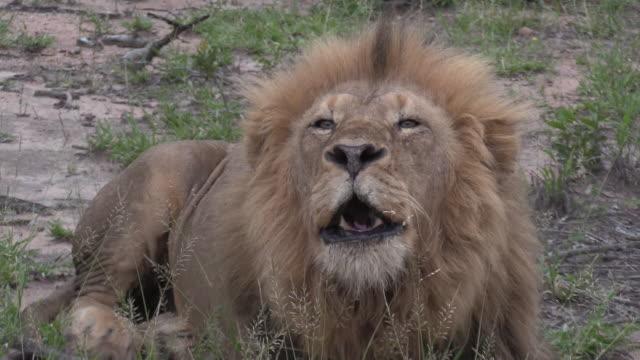 野生の雄ライオンの轟音 ビデオ