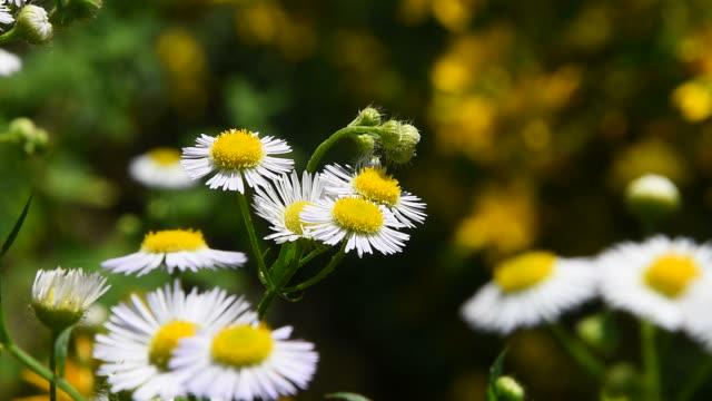 야생 초원 카모마일 꽃 그린에 바람에 - 풀 벼과 스톡 비디오 및 b-롤 화면