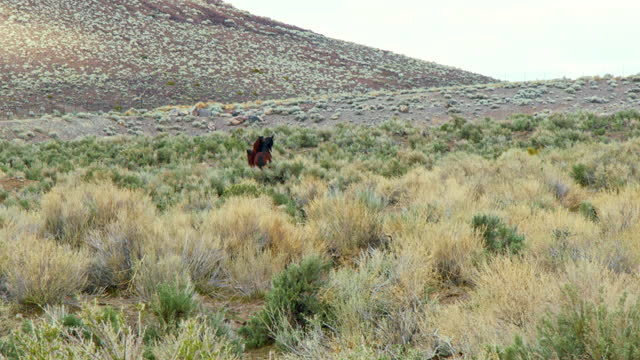 Wild Mustang horses running and interacting in the Nevada desert. Wild Mustang horses running and interacting in the Nevada desert as a stallion chases a mare through the tall sagebrush. mustang wild horse stock videos & royalty-free footage