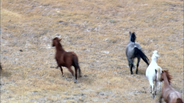 Wild Mustangs  - Aerial View - Wyoming, Fremont County, United States This clip was filmed by Skyworks on HDCAM SR 4:4:4 using the Cineflex gimbal. mustang wild horse stock videos & royalty-free footage