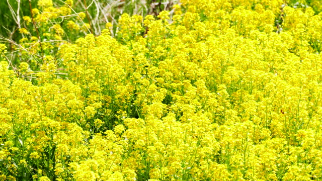 Wild Mustard Weed Field, Bees Buzzing Among Yellow Flowers video