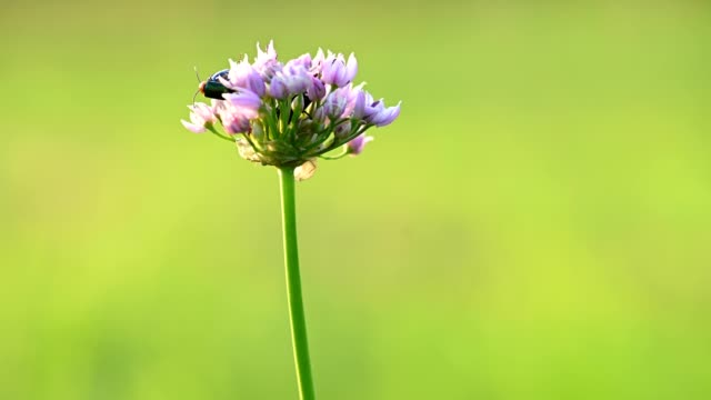 wild or mouse onion flower - alliacee video stock e b–roll