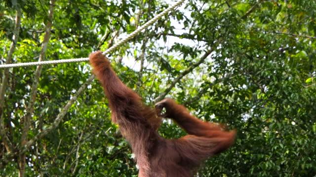 Wild Orangutan Swinging Through Forest, Sarawak, East Malaysia