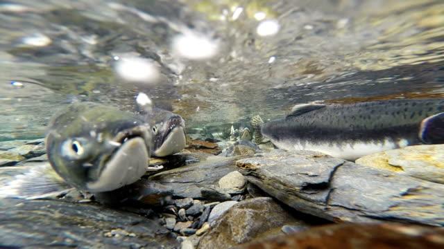 wild pacific pink lachse clear-gletscher stream tierische wildlife - laichen stock-videos und b-roll-filmmaterial