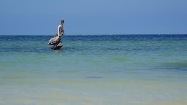 Wild pelicans in beautiful emerald sea, Yucatan peninsula, Mexico. Wild pelicans in beautiful emerald sea, Yucatan peninsula, Mexico. pelican stock videos & royalty-free footage