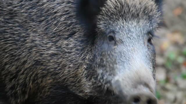 wild pig video