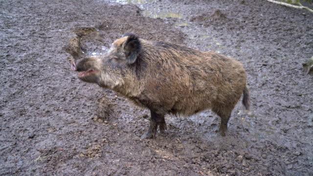 Wild Pig Wide shot walking on muddy field Lelystad natuurpark video